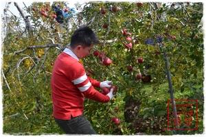 リンゴの収穫中